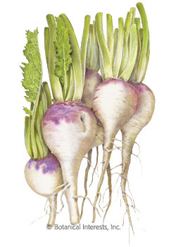 Turnip Purple Top White Globe HEIRLOOM Seeds