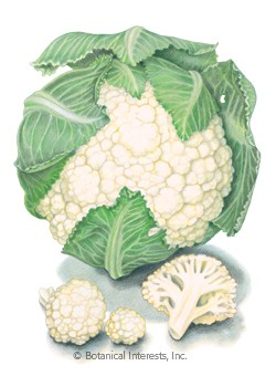 Cauliflower Early Snowball HEIRLOOM Seeds