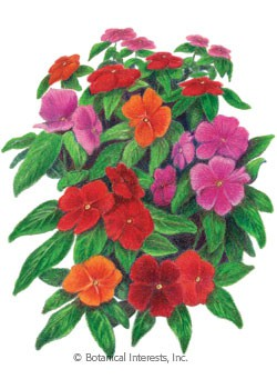 Vinca Pacifica XP Bold Blend Seeds