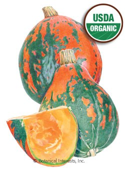 Squash Winter Lakota Organic HEIRLOOM Seeds