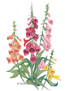 Foxglove Gloxiniiflora Blend HEIRLOOM Seeds