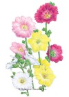 Hollyhock Indian Spring Blend HEIRLOOM Seeds