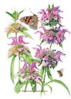 Bee Balm Lambada Seeds