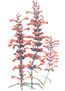 Agastache Sunset Hyssop Seeds