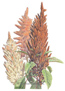 Amaranth Autumn Palette Seeds
