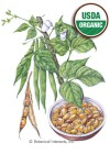 Bean Bush Tiger's Eye Organic HEIRLOOM Seeds