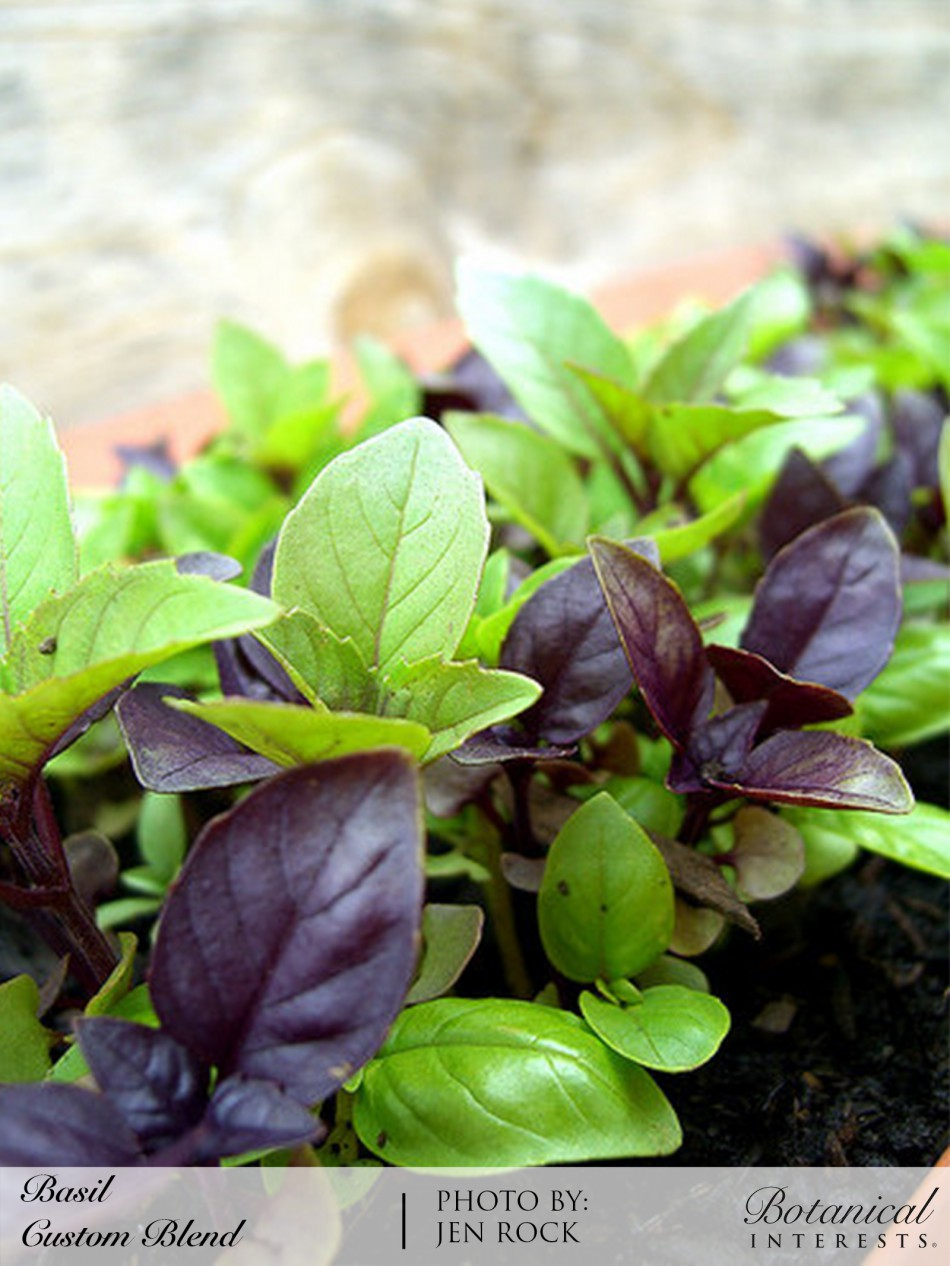 Basil: Sow and Grow Guide