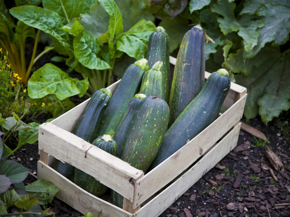 Squash (Summer): Sow and Grow Guide